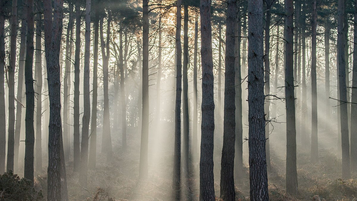Mist Trees Harrogate Winter  Follifoot Ridge Sun Beams photo