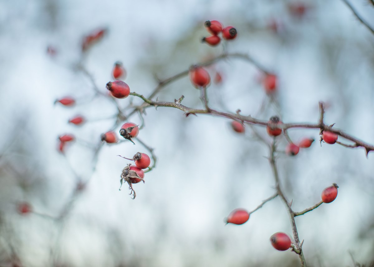 Harrogate Autumn  Hedgeway berries photo