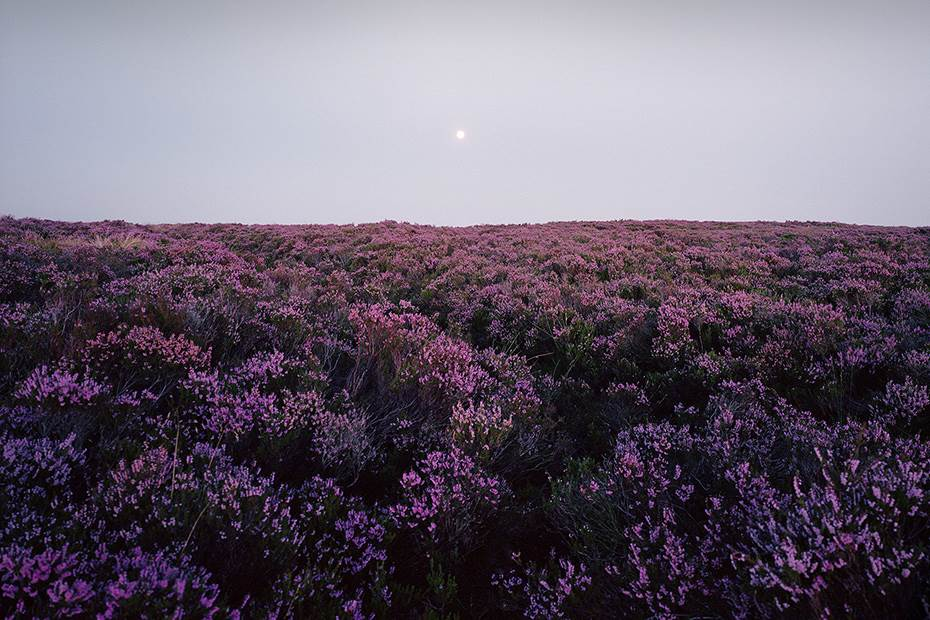 Beautiful heather moorland in August with the heather in full bloom, with the moor rising in the sky.