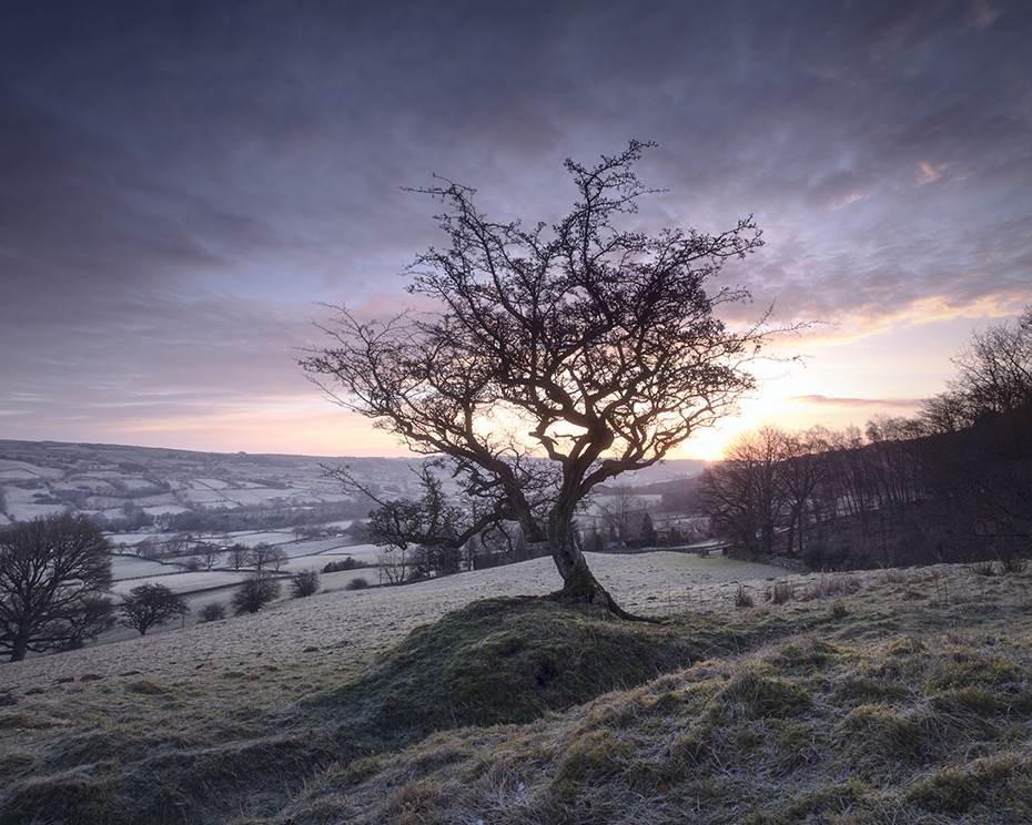 Frosty hawthorn tree at dawn on a cold winter morning.