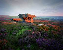 Moorland heather at dawn