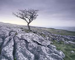 Yorkshire Dales tree
